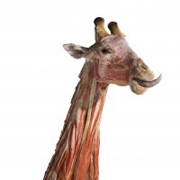 Body Worlds Animal-After Hours
